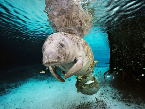 We Love You, Manatees - Dying in Record Numbers | OUR OCEANS NEED US | Scoop.it