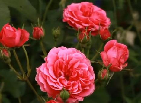 Créer un massif de rosiers et de vivaces   Couture, cuisine jardinage   Scoop.it