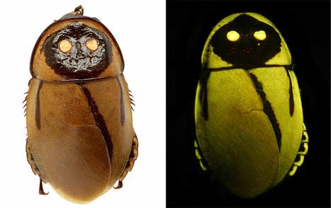 Lucihormetica luckae: Glowing Roaches Mimic Toxic Beetles | Le petit musée des cafards | Scoop.it