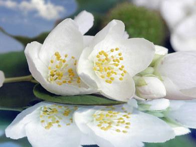 ¿Cómo multiplicar un jazmín por acodo? - Bien Verde - Wiki - Bien Verde - Biensimple.com | Flores y plantas | Scoop.it