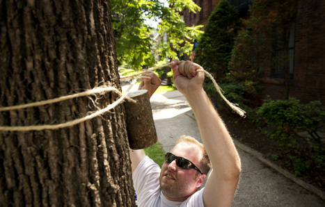 In the Twin Cities, emerald ash borer faces war in the streets - Minneapolis Star Tribune | Biocontrol (english) | Scoop.it