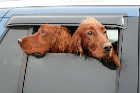 Why Do Dogs Stick Their Heads Out of Car Windows? - Mental Floss | Pet News | Scoop.it