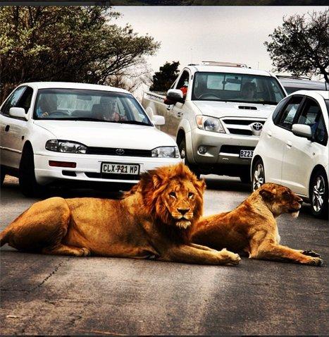 Lions Cause A Traffic Jam In Kruger National Park - Huffington Post   Kruger & African Wildlife   Scoop.it