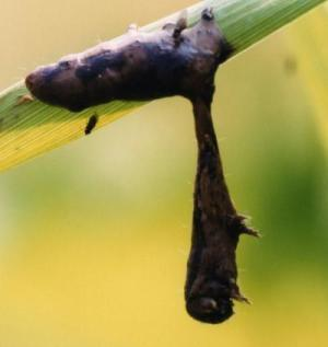 Scientists identify viral gene driving sick gypsy moth caterpillars to climb high and die | Garden Libraries | Scoop.it