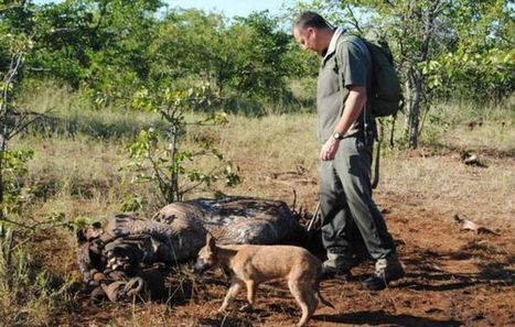 Rhino death toll at 350 - 242 in Kruger   What's Happening to Africa's Rhino?   Scoop.it
