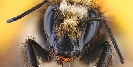 L'époustouflante vidéo d'une abeille vue de près - lalibre.be | Beewatch | Scoop.it