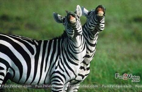 Funny Zebra Laughing | Funny Photos, Jokes and Funny Pics Of ... | Funny and cute animals | Scoop.it