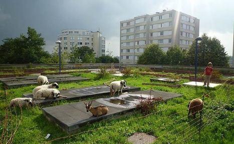 À Bagnolet, des chèvres se baladent sur les toits ! | Toitures végétales & Biodiversité urbaine | Scoop.it