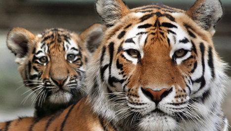 Poachers Kill 19 Russian Tigers in 2012-13 | Corinne | Scoop.it