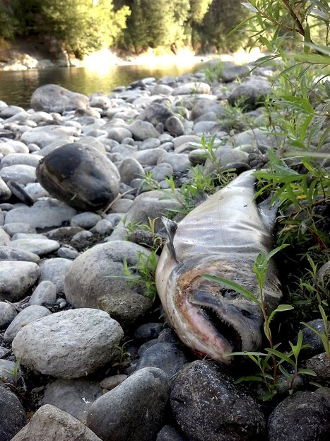 As salmon vanish in the dry Pacific Northwest, so does Native heritage | Sustain Our Earth | Scoop.it