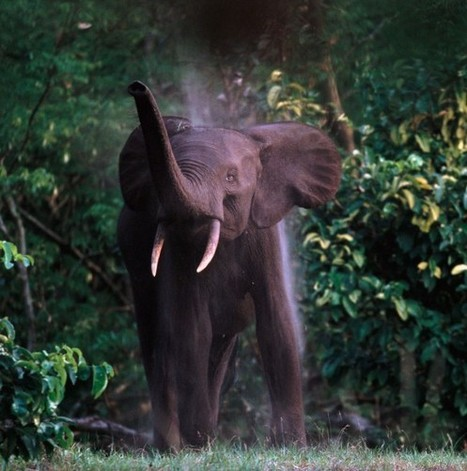 11,000 Elephants Slaughtered in African Forest | Wildlife and Environmental Conservation | Scoop.it