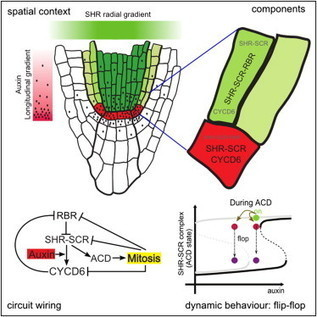 ScienceDirect.com - Cell - A Bistable Circuit Involving SCARECROW-RETINOBLASTOMA Integrates Cues to Inform Asymmetric Stem Cell Division | plant cell genetics | Scoop.it