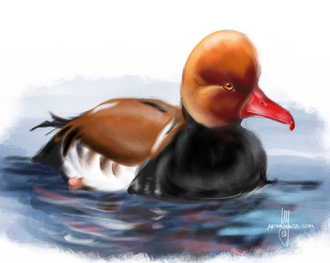 Bird of the Day: Red-crested pochard   Birding in the news   Scoop.it