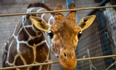 Euthanising Marius the giraffe shows a shocking lack of compassion | Health, food and safety | Scoop.it