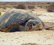 Conservation laws need reshaping to protect sea turtles, research finds | Conservation | Scoop.it