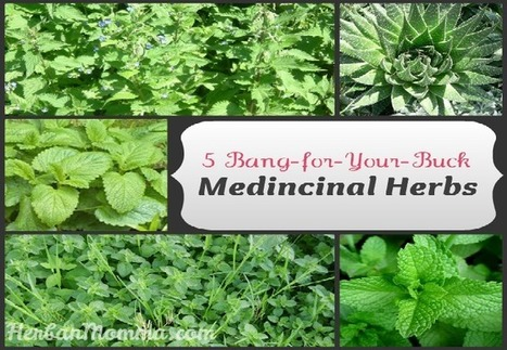 5 Bang-for-Your-Buck Medicinal Herbs - Herban Momma | herbs | Scoop.it