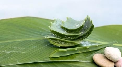 Scottature solari: annientiamole con le foglie di aloe vera - Sfilate | Counseling Milano | Scoop.it