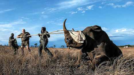 South Africa rhino poaching at new record levels | What's Happening to Africa's Rhino? | Scoop.it