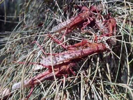 Official: Authorities eradicated 80 percent of locust outbreak | Égypt-actus | Scoop.it