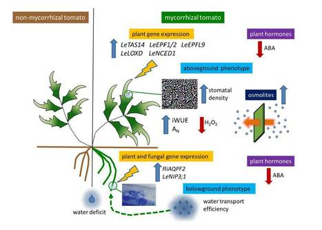 Insights On the Impact of Arbuscular Mycorrhizal Symbiosis On Tomato Tolerance to Water Stress | Plant Biology Teaching Resources (Higher Education) | Scoop.it