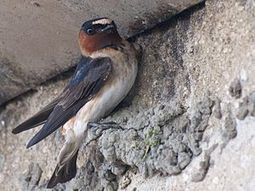 Golondrinas, tráfico y evolución   Las aves   Scoop.it