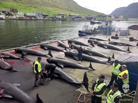#PilotWhales Brutally #Slaughtered in Yet Another #Horrific #FaroeIslandsGrind | Rescue our Ocean's & it's species from Man's Pollution! | Scoop.it