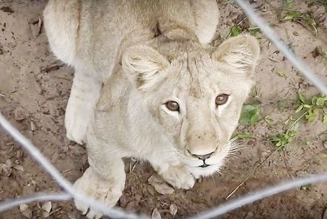 'Blood Lions': Conservationists Infiltrate Hunts of Captive Big Cats in South Africa | Our Evolving Earth | Scoop.it