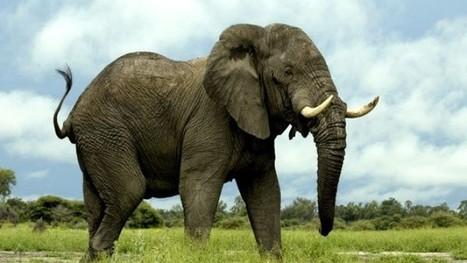 Près de 100 hectares de sorgo et de mil dévastés par des éléphants dans l'Extrême-Nord du Cameroun - Investir au Cameroun | Cameroun Tourisme, cultures et nature | Scoop.it