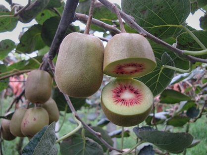 BTI scientist co-leads kiwifruit genome sequencing project | BTI | Plant Gene Seeker -PGS | Scoop.it