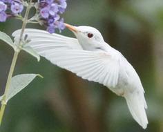 Rares photos d'un colibri albinos | Nature insolite | Scoop.it