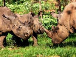 Let's Admit it! Wildlife crime is not taken seriously | Help save our Rhino | Scoop.it
