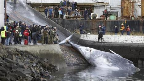 EU forces Britain into whalemeat trade, says minister | GarryRogers Biosphere News | Scoop.it