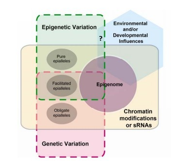Epigenetics; more than chromatin modifications and complex gene regulatory systems. | Plant Genomics | Scoop.it