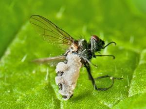 Pull, push and kill cabbage root flies | Southern Hemisphere | Scoop.it