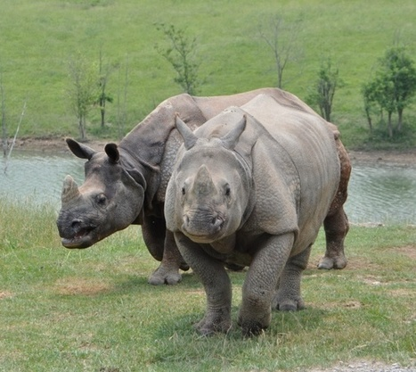 Translocation of Rhinos from Kaziranga National Park | Wildlife in India | Scoop.it