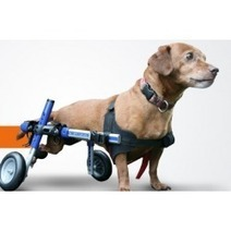 Wheelchair for Dogs: An Answer for Dog's Disability | Wheelchair for Dogs | Scoop.it