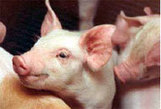 Pigs   NSW Department of Primary Industries   Teaching Agricultural Science - Pigs   Scoop.it