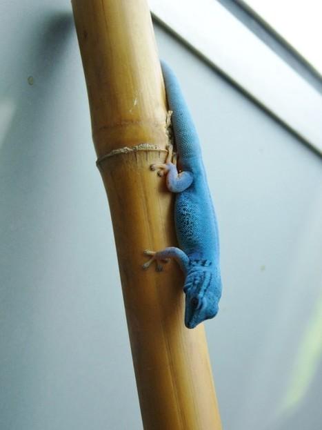 Photo de gecko: gecko nain de William - gecko blue neon - Lygodactylus williamsi | Fauna Free Pics - Public Domain - Photos gratuites d'animaux | Scoop.it