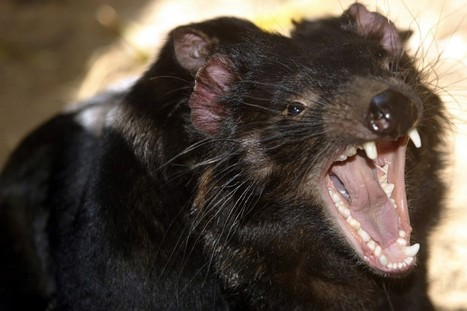 L'évolution pourrait sauver le diable de Tasmanie ! | Biodiversité & Relations Homme - Nature - Environnement : Un Scoop.it du Muséum de Toulouse | Scoop.it