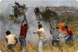 Palestinian olive trees on fire following Jewish settlers' arson attack | Occupied Palestine | Scoop.it