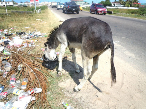 This donkey has been suffering from an infected leg - Stabroek ...   Animal Cruelty   Scoop.it