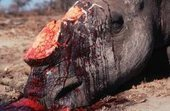 Cruelty of Farmed Animals: Is this what's in store for the rhino? | What's Happening to Africa's Rhino? | Scoop.it