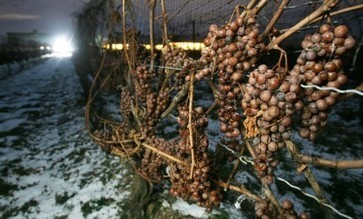 Canadian Icewine 2014 vintage down 50 percent | Autour du vin | Scoop.it