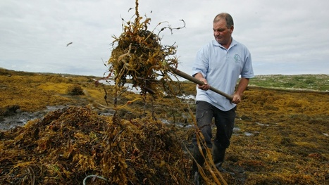 Sea change in the west: deal divides seaweed harvesters | Nova Scotia Fishing | Scoop.it