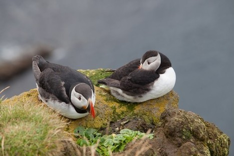 In search of the light: Spotting puffins in Iceland - Wonderful Wanderings | From WonderfulWanderings.com | Scoop.it