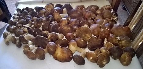 France Bleu | Dordogne : cinq tonnes de cèpes vendues sur les marchés de Villefranche-du-Périgord et Monpazier | Agriculture en Dordogne | Scoop.it