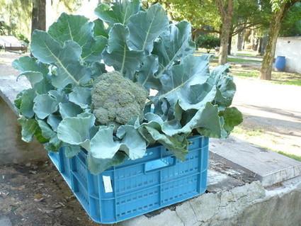 Producen brócolis fortificados para ayudar a prevenir enfermedades | Cultivos | Scoop.it