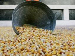South Africa's biotech crops on the increase   MAIZE   Scoop.it
