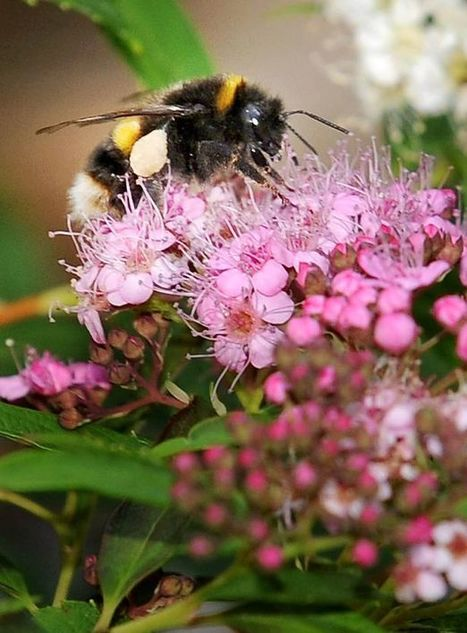 Pesticide is killing bees says report as Government approves use in 4 counties | Chimie verte et agroécologie | Scoop.it