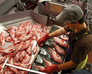 Premium Seafoods allowed to hire foreign fish trawler - FIS | Nova Scotia Fishing | Scoop.it